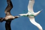 漁網に捕まる海鳥、緑色LEDで85%減、研究
