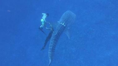 【ニュース】【動画】網がからみついたジンベエザメを救出