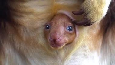 【ニュース】【動画】こんにちは キノボリカンガルーの赤ちゃん
