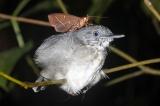 眠っている鳥の涙を飲む蛾を発見、世界で3例目