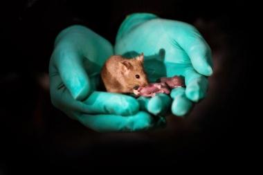 【ニュース】【解説】同性の両親から子ども、マウスで実験成功