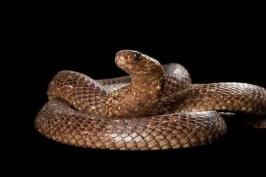 【ニュース】定説覆すコブラの共食い、しかもオス同士のみ