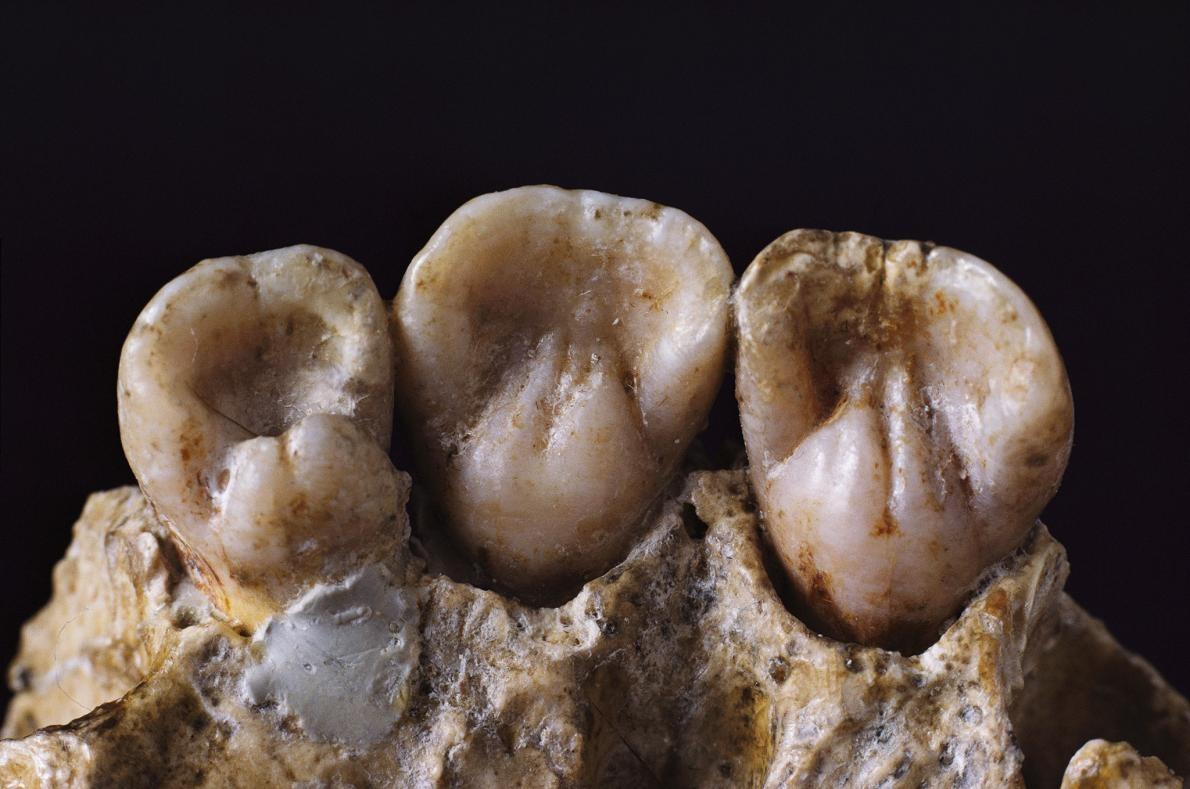 ネアンデルタール人の暮らし、歯で判明