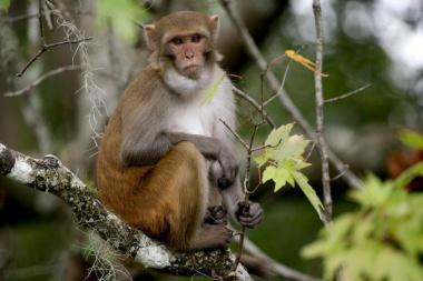 【ニュース】危険ウイルスもつ外来サルが勢力拡大、フロリダ