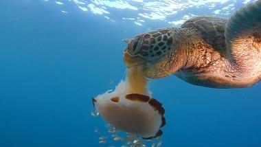 【ニュース】クラゲの大量発生に利点? 実は多くの動物の餌に