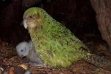残り147羽の鳥カカポに「記録的な繁殖期」、NZ