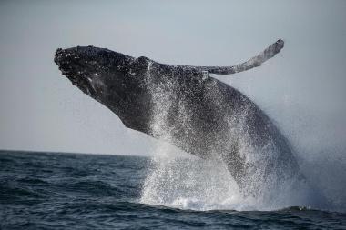 【ニュース】米東海岸でクジラの「異常死」が急増、打つ手なし