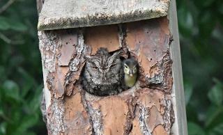 なぜフクロウの巣にカモのヒナが?専門家に聞いた