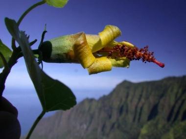 【ニュース】絶滅と思われた花を再発見、ハワイ固有種の宝庫で