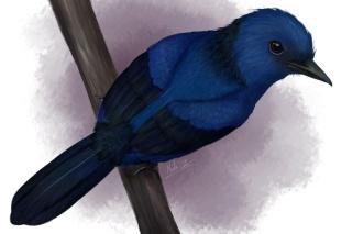 カワセミのように青く光る鳥、化石ではじめて特定