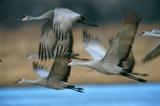 ツルの狩猟を100年ぶり解禁、米国アラバマ州