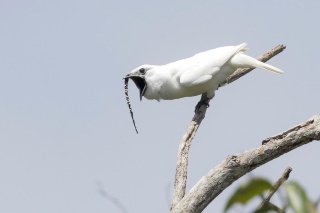 世界一鳴き声が大きな鳥、求愛にはうるさすぎ?