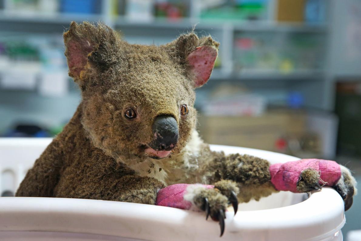 森林火災で最大1000頭が死亡、コアラはどうなる?
