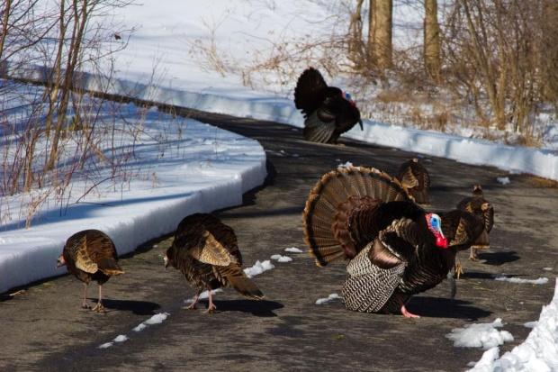 七面鳥が米国北東部で爆発的に増加、なぜ?