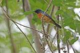 新種の鳥を一挙に5種発見、読み的中、インドネシア