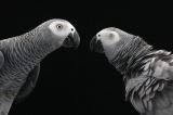 【動画】仲間を進んで助けるヨウム、鳥で初の行動