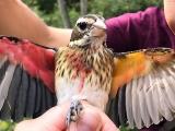 体の右半分がオス、左半分がメスの鳥が見つかる