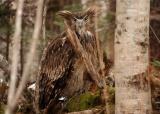 絶滅危惧種シマフクロウ、ロシアでも危機の原因は