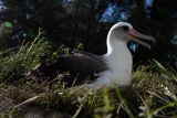 70歳のアホウドリが産卵、記録を更新、ひな元気