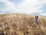 金色の野原にたたずむ犬