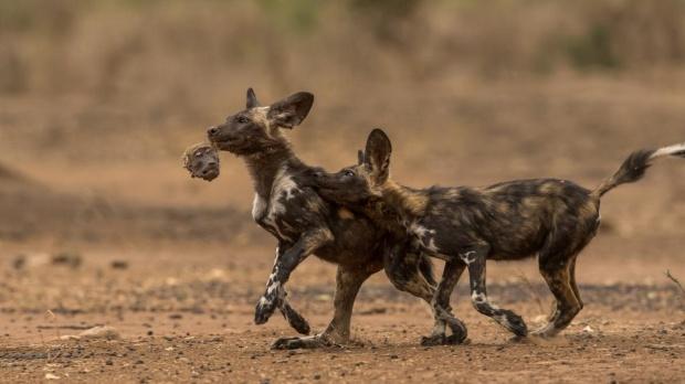 ヒヒを狩り始めたリカオン、衝撃の光景と苦闘 写真12点