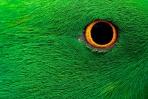 オウムの目