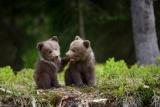 森で遊ぶ子グマたち