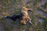 ライオンと昼寝