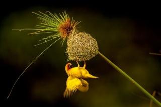 巣作りでアピール