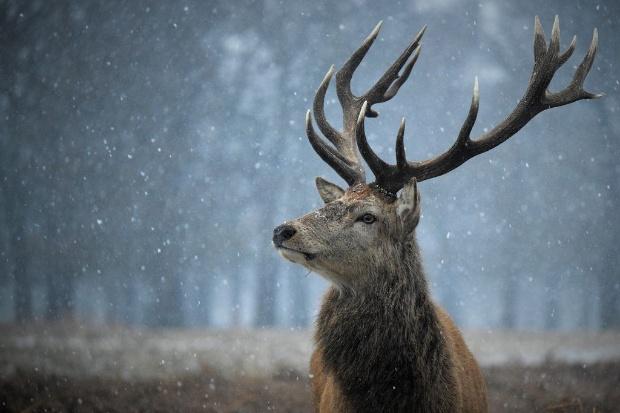 雪の中の雄ジカ