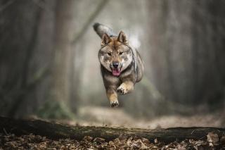 四国犬ヘイリー
