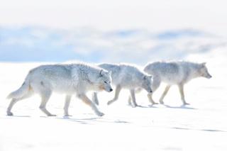 白いオオカミ