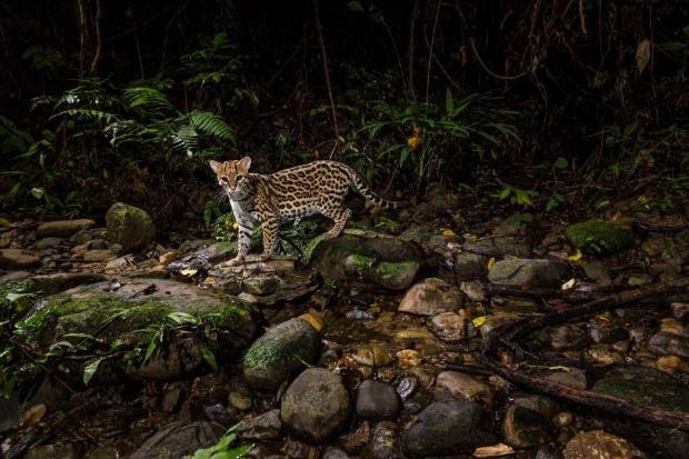 ペルーの森のオセロット