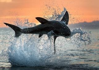 ホホジロザメのジャンプ
