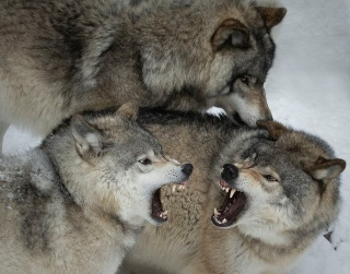 オオカミのケンカ