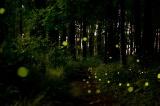 なぜか同期して光るホタル、米国の森で調査 写真7点