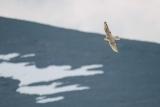 北極圏にすむシロハヤブサ 気候変動、不可避の脅威に直面
