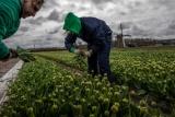 コロナ禍でオランダのチューリップ農家に何が起きたか