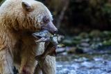 野生のサケを守れ、さまざまな取り組みがカナダで進行中