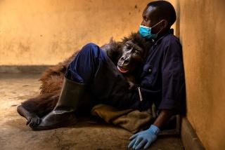殺害事件で親を失ったゴリラ「ンダカシ」逝く、飼育員に愛された14年 写真9点