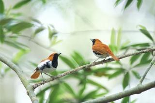 たった1羽の亜種