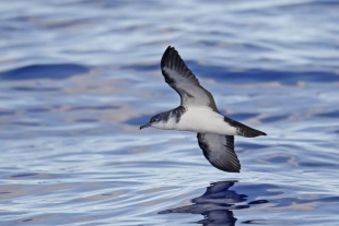 固有種に返り咲いた小笠原の海鳥