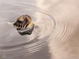 水面から顔を出したアオウミガメ
