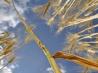 小麦を脅かす病