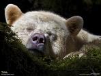 聖なるクマもお昼寝