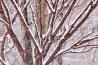落葉したカエデの木立が厳しい寒さにじっと耐えている。
