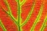 アディロンダックの森は、季節の移ろいとともにさまざまな色彩を放つ。ガマズミの葉は、秋になると赤く染まり、繊細な網目模様を浮かび上がらせる。