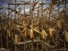 収穫を待つトウモロコシ