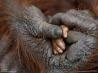 赤ちゃんの手を握るオランウータン
