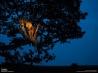 木の上にたたずむライオン